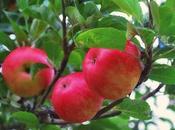 Tarte pommes Madeleine