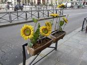 Incroyable, tournesols fleurissent