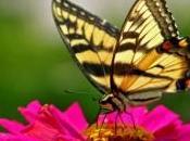 Plusieurs espèces papillons menacées réchauffement climatique