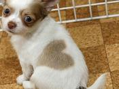 Chihuahua l'amour .....!!!