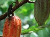 Deux maladies menacent récoltes cacao Afrique Brésil