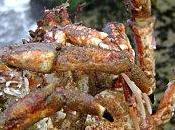 Crab Cakes Galettes Crabe d'Araignée