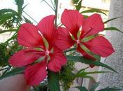 Hibiscus geants, exotisme garanti