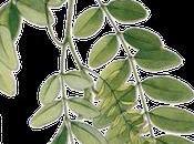 Autour fleurs robinier