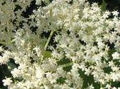 Crêpes fleurs sureau