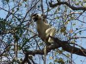 Madagascar pays lemuriens