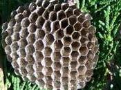 Guêpes abeilles