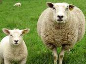 Algérie: moutons suivis
