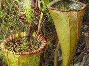 Cette plante nourrit rats