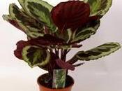 Plante Marion Shadow