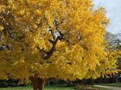 Ginkgo biloba: l'arbre mille écus...