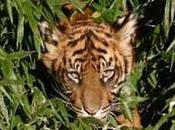 tigres tout pres l'extinction asie sud-est
