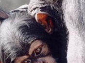 Madame Badinter, femelle chimpanzé serait-elle meilleure nôtre