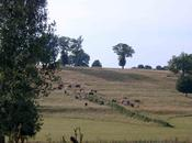 Vaches d'Yvette