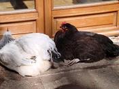 journée ensoleillée pour gallinacés