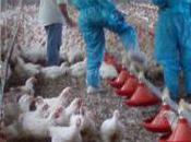 Élevage porcs volailles Parlement refuse d'alléger réglementation