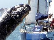 Collision baleine/voilier