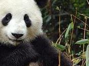 panda intoxiqué