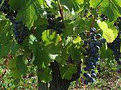 Lisson: vendanges 2010/3- encore beau raisin perspective