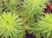 Plante carnivore moment Stylidium adnatum