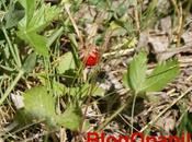 génome fraise bois décrypté