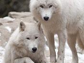 combat Loups