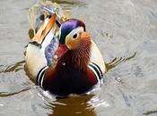 Canard Mandarin Mâle Originaire A...