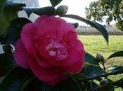 fleur camélia pour toutes valentines valentins