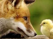 renard libre dans poulailler