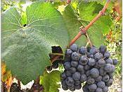 cépages vins Bordeaux