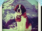 Focus chien d'avalanche