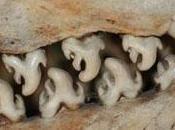 dents phoque crabier