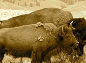fantasme Buffalo