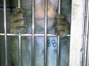 Lyon macaques condamnés mort laboratoire Ricerca