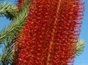 après naufrage Boussole, Banksia Lapérouse font avancer science
