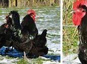 poule Luxe!