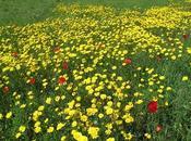 Glebionis segetum (Chrysanthème blés, Marguerite dorée)