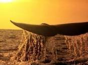 Sirène baleine
