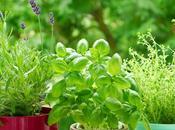 Pucerons insecticide naturel basilic