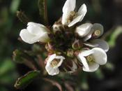 Premières fleurs Cardamine hirsute (Cardamine hirsuta)