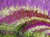 Tunnel Wisteria Japon