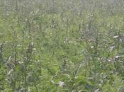 L'amarante pourrit Monsanto..