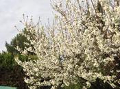 Cerisiers fleurs...