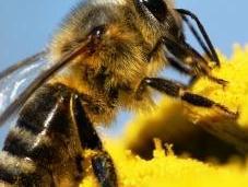 Pesticides l'UE vote sursis pour abeilles