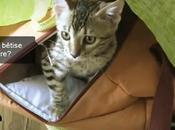 Vidéo Hitch, notre chaton bengal Sparrow chat noir