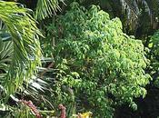 schefflera ombrela Tival Sainte-Anne Guadeloupe