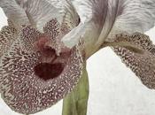 Iris Nazarena, quand l'iris passe travers prisme d'Ades Venustas.