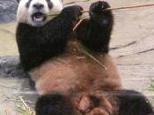 ébats sexuels pandas Shinshin Riri pourraient