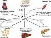 L'AMPK est-elle médiatrice effets métaboliques médicaments base salicylate