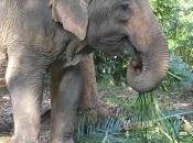 Chang Rai, Trat Attaque quotidienne d'éléphant sauvage [HD]